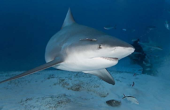 A bull shark in its natural habitat of deep water.
