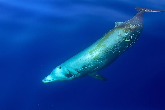 #1 Cuvier's Beaked Whale