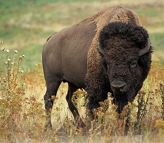 Buffalo Facts: Animals of North America