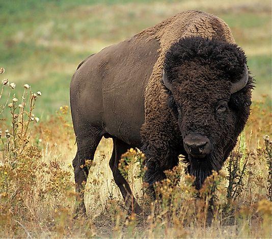Buffalo Facts Animals Of North America Worldatlas Com