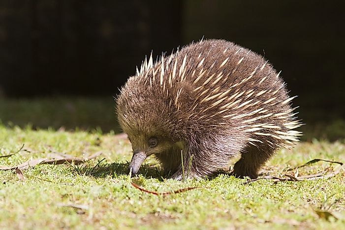 Short-Beaked Echidnas - Animals Of Australia