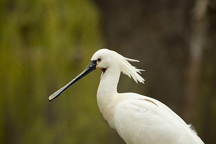 The Six Species Of Spoonbills