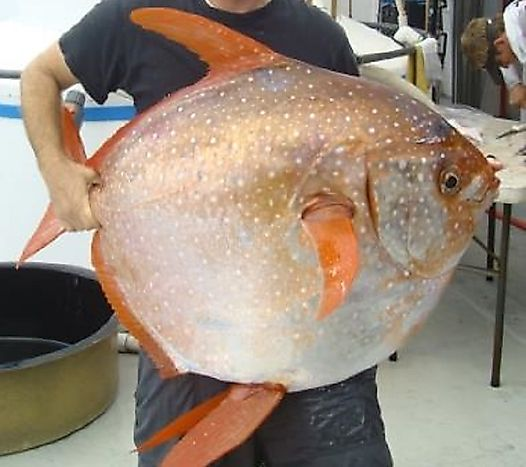 What Do You Know About Opah, The Warm-Blooded Fish?