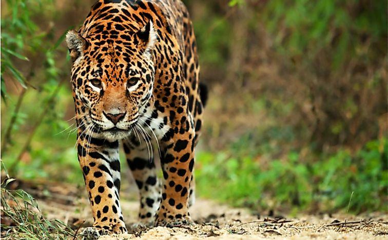 What Do Jaguars Eat >> What Do Jaguars Eat Worldatlas Com