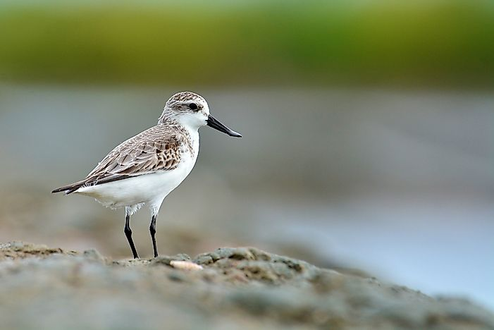 Spoon-Billed Sandpiper Facts - Animals of the World