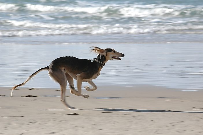 A greyhound dog runs on the beach.