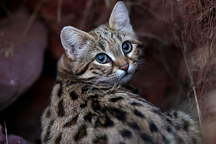 A black-footed cat.