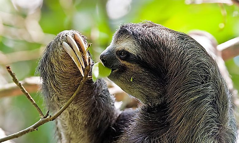#2 Brown-Throated Sloth -