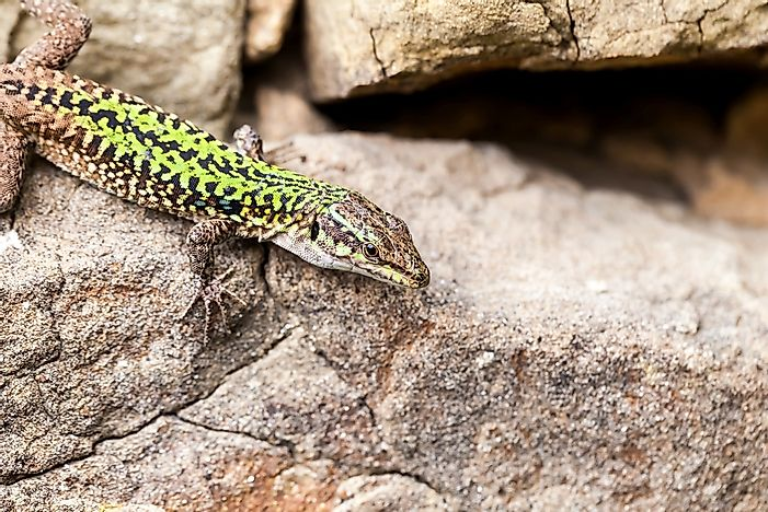 Native Reptiles Of Italy