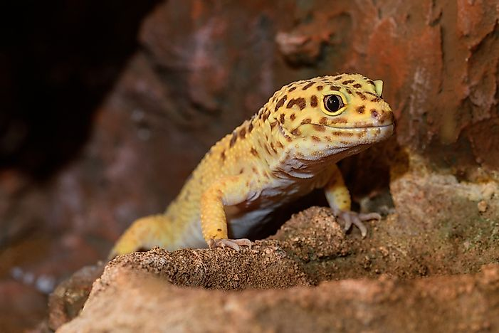 Geckos live 10 years on average.