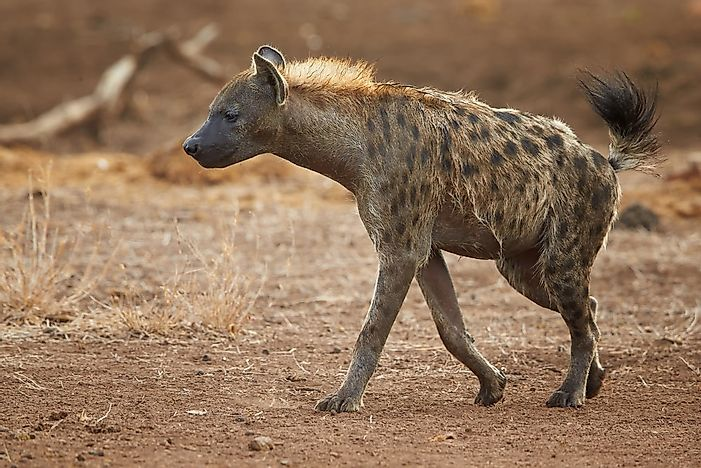 #2 Spotted Hyena