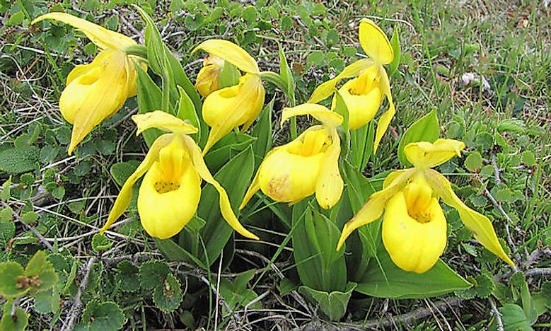 #8 Yellow And Purple Lady Slipper -