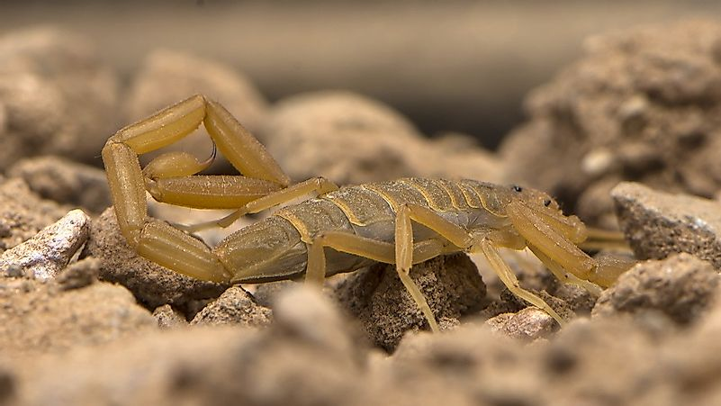#10 Arizona Bark Scorpion