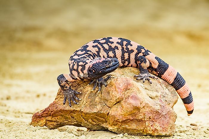 #2 Gila monster