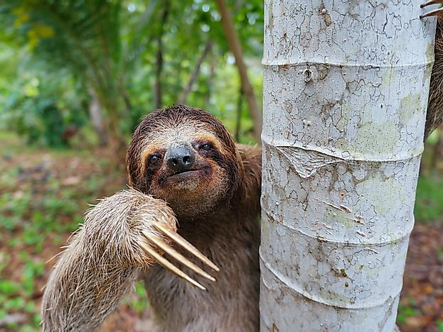 #10 Brown-throated Sloth