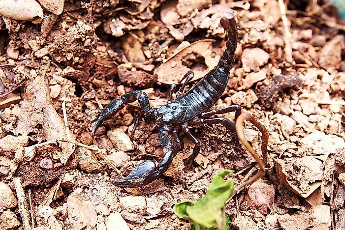 What Is The World's Largest Scorpion? - WorldAtlas com