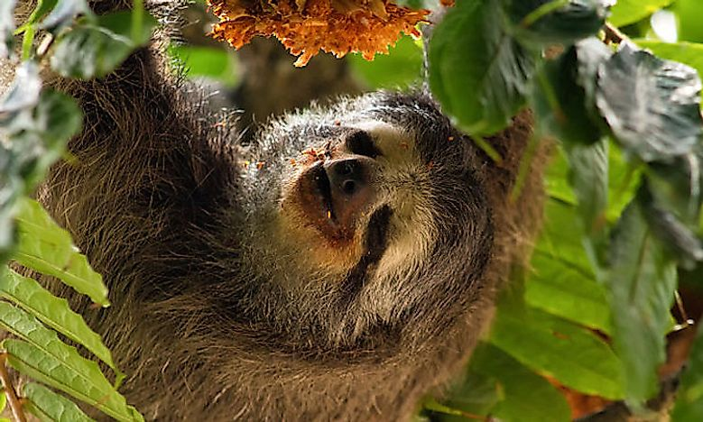 #3 Pale-Throated Sloth -