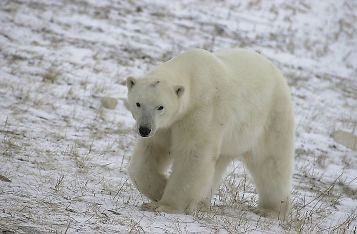 Polar Bear Facts: Animals of North America