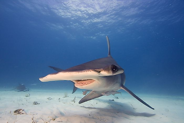 The hammerhead shark has a distinctive appearance.