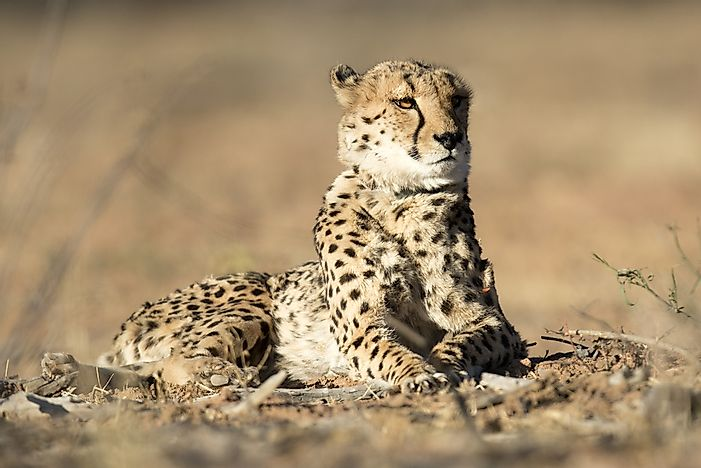 What Animals Live In The Sahara Desert? - WorldAtlas com