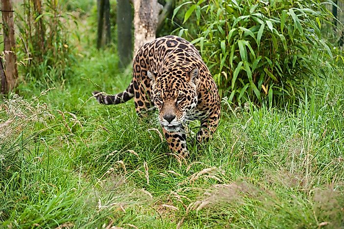 Captivating The Range Of This Species Extends From The Southwestern US To Northern  Argentina And Paraguay In South America. Jaguars ...
