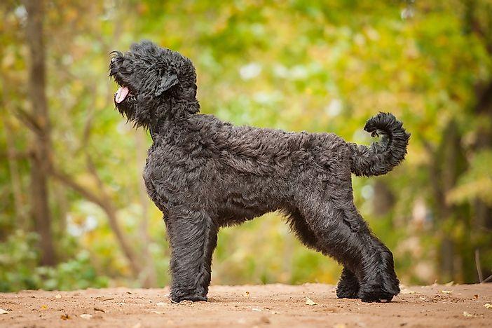Самые большие в мире породы собак.