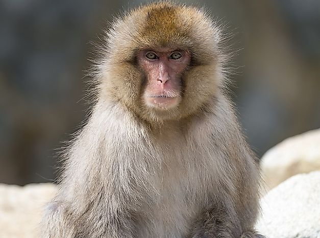 #3 Japanese Macaque