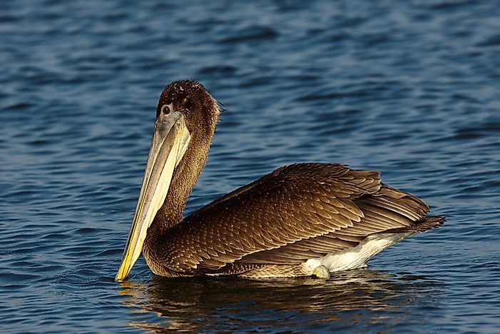 A brown pelican.