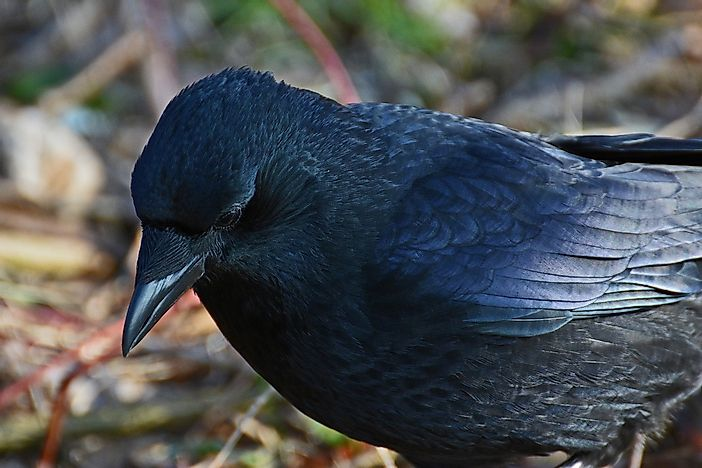 Common Raven Facts: Animals of Europe