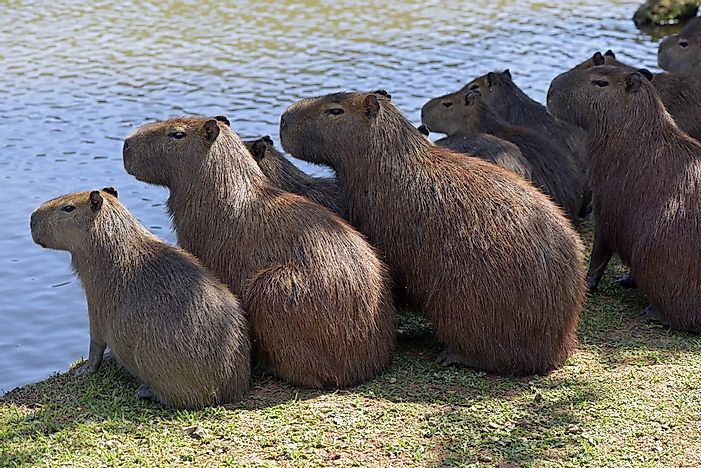 #8 Capybaras are extremely social, and live in groups of between 10-20.
