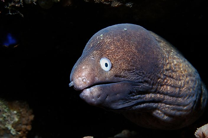 Image result for moray eel