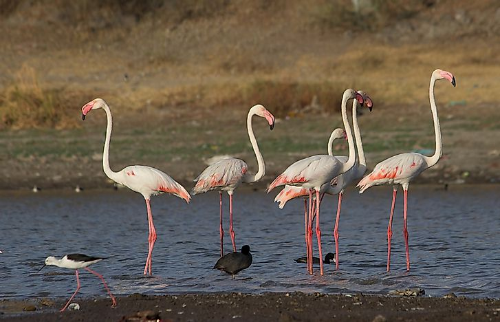#10 Greater Flamingo