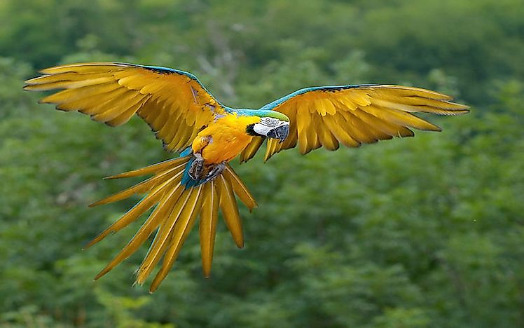 #5 Blue-and-Yellow Macaw  -