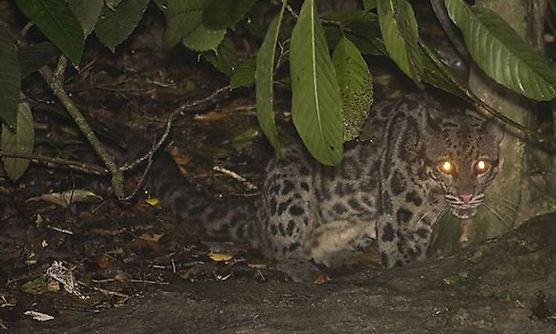 #2 Clouded Leopards -