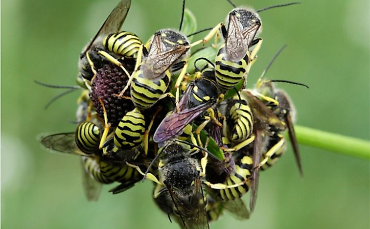 Western yellowjackets at rest
