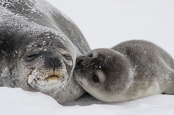 Weddell Seal Facts: Animals of Antarctica