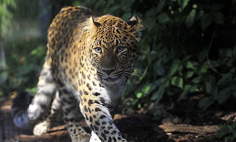 #5 North-Chinese Leopard  -