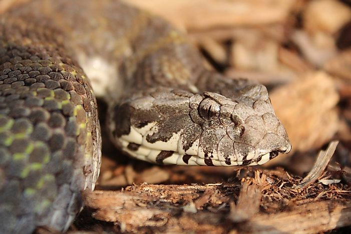A northern death adder.