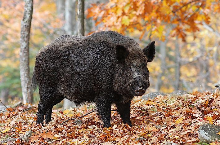 The 10 Species of Pigs - WorldAtlas com