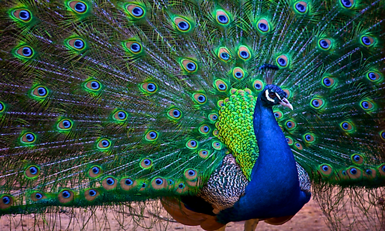#7 Indian Peafowl -