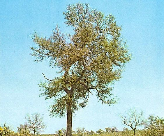 What Are Quebracho Trees?