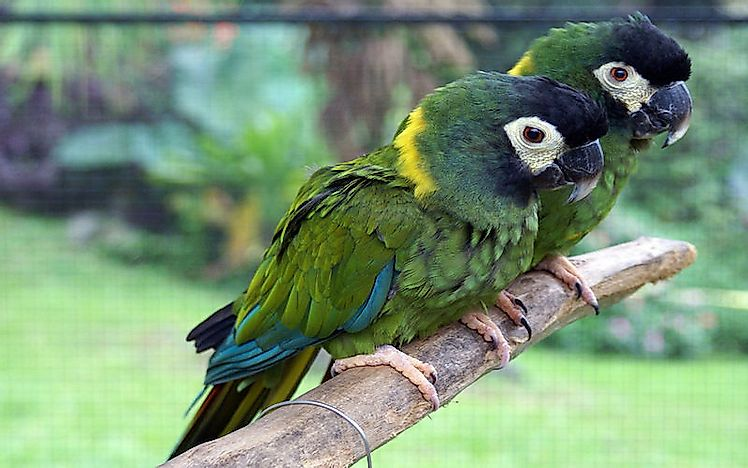 #16 Yellow-Collared Macaw