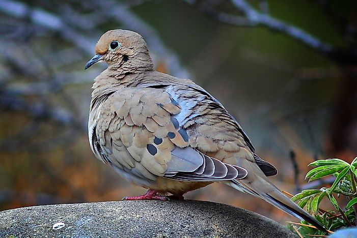 Mourning Dove Facts: Animals of North America