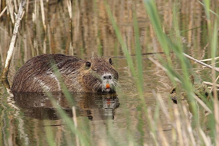 Nutria Rats - Animals of the World