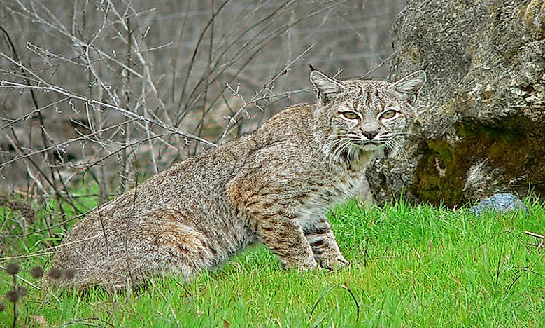 How Many Types Of Lynx Live In The World Today