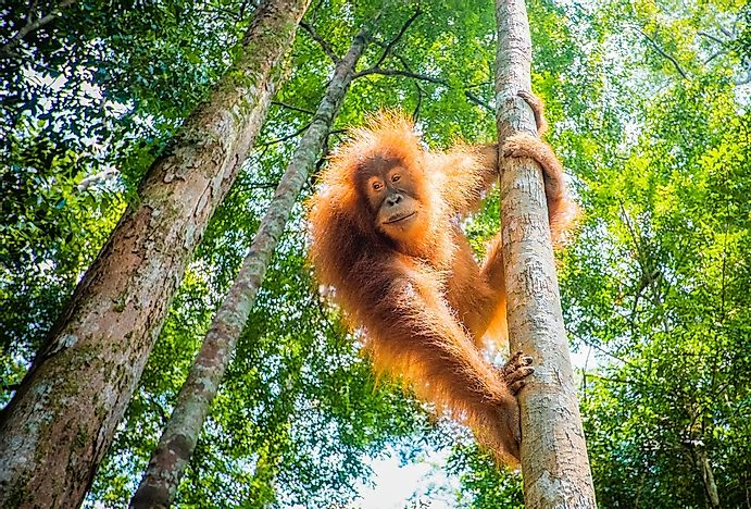 Best Places In The World To Watch Orangutans In Their Natural Environment