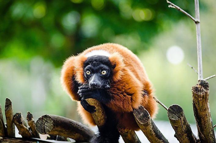 Endemic Animals Of Madagascar - WorldAtlas.com