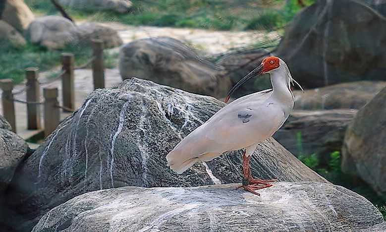 #1 Asian Crested Ibis -