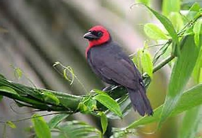 The Native Birds Of Nigeria