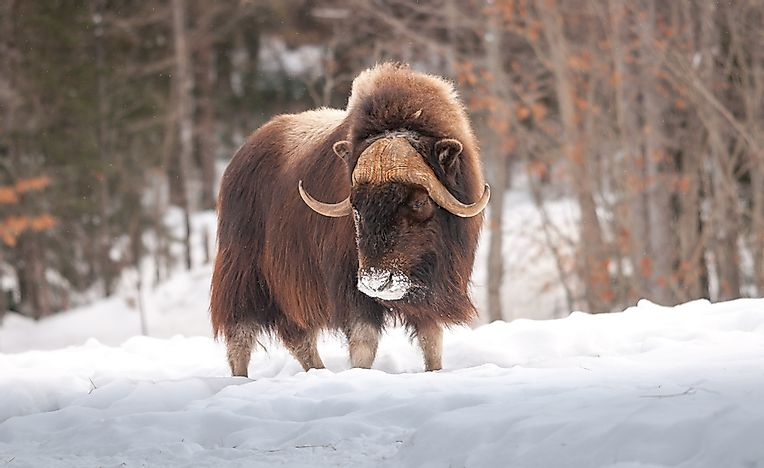 Muskox Facts: Animals of North America